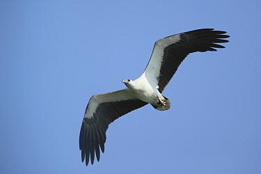 White bellied sea eagle (Haliaeetus leucogaster) in flight, India, February
