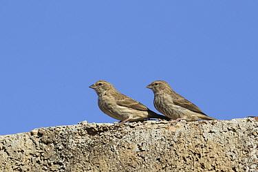 Yemen serin (Crithagra menachensis) two on wall, Oman, December