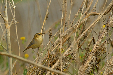 Sedge warbler (Acrocephalus schoenobaenus) in bush.  Le Teich , Gironde, France, September