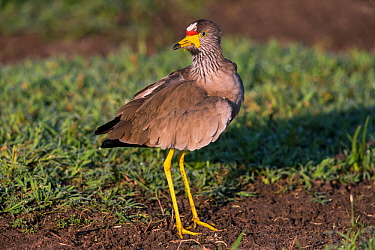 Wattled plover (Vanellus senegallus) Ndutu, Tanzania.