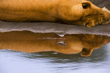 Three-banded plover (Charadrius tricollaris) in water, with Lion  (Panthera leo) sleeping nearby, Ndutu, Tanzania.
