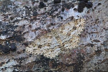 Engrailed moth (Ectropis bistortata) resting, Annagariff Wood National Nature Reserve, Peatlands Park, County Armagh, Northern Ireland, UK. April.