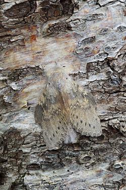 Lobster moth (Stauropus fagi) female resting on tree bark, Dorset England. September.