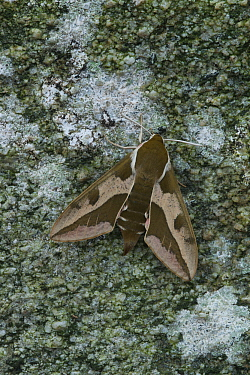 Spurge hawkmoth (Hyles euphorbiae) at rest on an old dry stone wall, Grand Sasso Abruzzo, Italy. May.