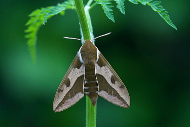 Spurge hawkmoth (Hyles euphorbiae) resting, Grand Sasso Abruzzo, Italy. May.