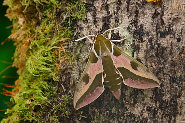 Spurge hawkmoth (Hyles euphorbiae at rest on an old decaying tree trunk, Grand Sasso Abruzzo, Italy. May.