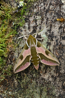 Spurge hawkmoth (Hyles euphorbiae) at rest on an old decaying tree trunk, Grand Sasso Abruzzo, Italy. May.