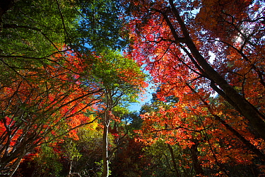 Autumnal trees in forest on Mount Kawakarpo, Meili Snow Mountain National Park, Yunnan Province, China. October 2009
