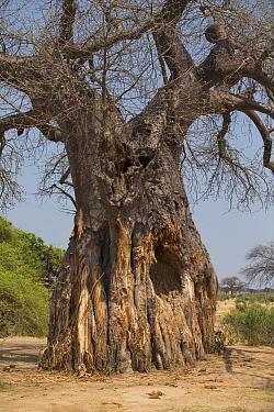 Baobab tree (Adansonia digitata) damaged by elephants, Ruaha National Park, Tanzania.