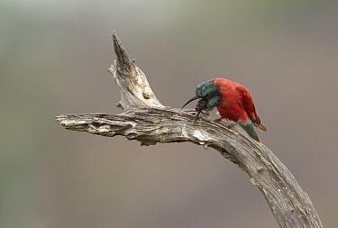 Northern carmine bee-eater (Merops nubicus) regurgitating pellet, Selous Game Reserve, Tanzania.