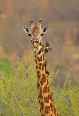 Masai giraffe (Giraffa camelopardalis tippelskirchi) male with red-billed (Buphagus erythrorhynchus) and yellow-billed (Buphagus africanus) oxpeckers on neck, Ruaha National Park, Tanzania.