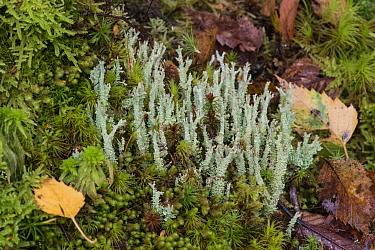 Lichen (Cladonia squamosa) North Wales, October.