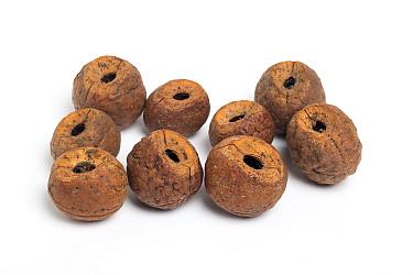 Empty nut shells opened by parakeets, Sri Lanka.