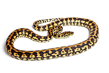 Carpet python (Morelia spilota) Queensland form, on white background, occurs in Australia, Indonesia and New Guinea.