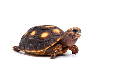 Red-footed tortoise (Chelonoidis carbonaria) hatchling on white background, occurs in South America