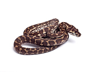 Carpet python (Morelia spilota) hatchling on white background, occurs in Australia, Indonesia and New Guinea.