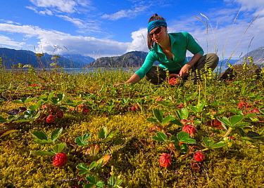 Hiker collecting wild strawberries (Fragaria) near camp on a small island in Glacier Bay National Park, Alaska, USA, August 2014. Model released.