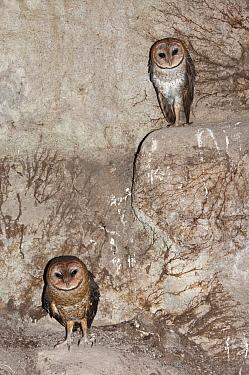 Barn owl (Tyto alba punctatissima) pair nesting in cave beneath building site. Santa Cruz Island, Galapagos, Ecuador.