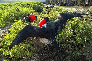 Great frigatebird (Fregata minor) males displaying, Galapagos, Ecuador.