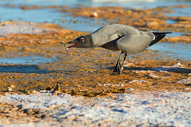 Lava gull (Larus fuliginosus) calling on shore, Galapagos, Ecuador. Vulnerable species.