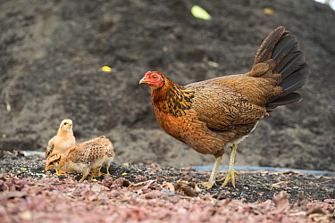 Feral chicken (Gallus gallus domesticus) hen and chicks, these have reverted to ancestral type nearly identical to Red jungle fowl. Galapagos
