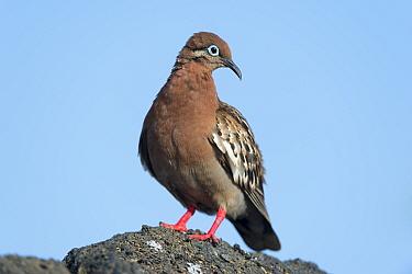 Galapagos dove (Zenaida galapagoensis), Galapagos