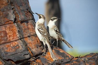 Galapagos mockingbirds (Mimus parvulus) Galapagos