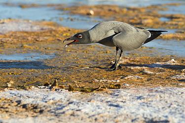 Lava gull (Larus fuliginosus) calling, Galapagos