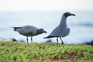 Lava gulls (Larus fuliginosus) on coast, Galapagos