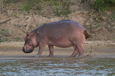 Hippopotamus (Hippopotamus amphibius) defecating and urinating, fanning its tail to distribute the waste over a wide area, Selous Game Reserve, Tanzania.