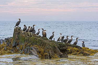 Double-crested Cormorant (Phalacrocorax auritus) group on rock, Acadia National Park, Maine, USA, September.