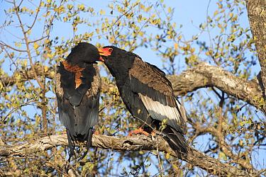 Bateleur eagle (Terathopius ecaudatus) pair, male (left) and female (right), allogrooming, Kruger National Park, South Africa.