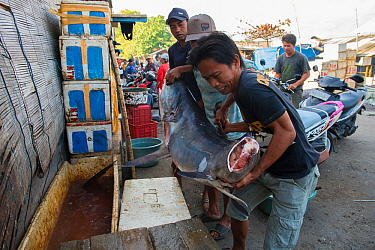 Men in fish market lifting large Mako shark (Isurus oxyrinchus) with tail removed, Bali, Indonesia, August 2014. Vulnerable species.