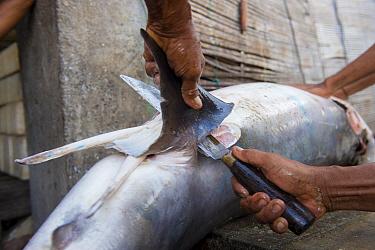 Man removing fins of Mako shark (Isurus oxyrinchus) in fish market, Bali, Indonesia, August 2014. Vulnerable species.