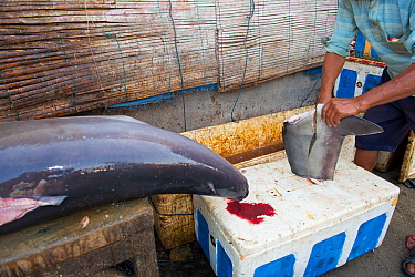 Man cutting Mako shark (Isurus oxyrinchus) fin in fish market, Bali, Indonesia, August 2014. Vulnerable species.