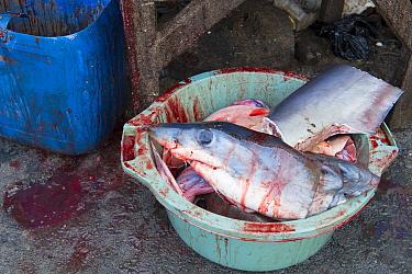 Mako shark (Isurus oxyrinchus) head and parts in bloody bucket, fish market, Bali, Indonesia, August 2014. Vulnerable species.