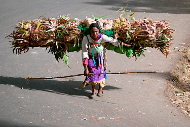 Woman transporting firewood on her back to be used for cooking fuel, Addis Ababa, Ethiopia. February 2009