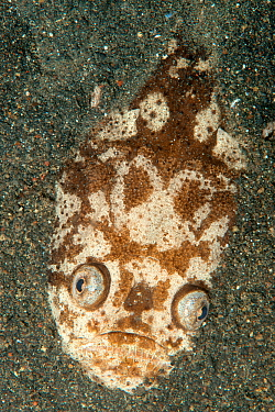 Whitemargin stargazer (Uranoscopus sulphureus) fish half buried in sand, Lembeh Strait, North Sulawesi, Indonesia.