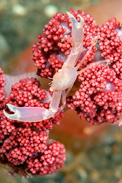 Crowned coral crab (Quadrella coronata) on Soft Coral. Lembeh Strait, North Sulawesi, Indonesia.
