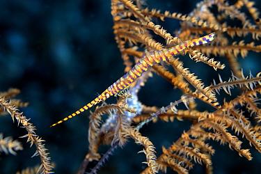Saw-blade shrimp (Tozeuma armatum) on gorgonian, Lembeh Strait, North Sulawesi, Indonesia.