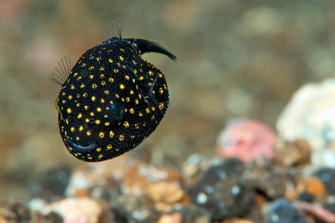 Spotted puffer (Arothron meleagris) juvenile. Lembeh Strait, North Sulawesi, Indonesia.