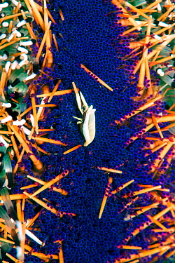 Urchin bumblebee shrimp (Gnathophyllides mineri) living commensally with Collector Urchin (Tripneustes gratilla), close up. Lembeh Strait, North Sulawesi, Indonesia.