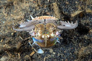 Bobbit worm (Eunice aphroditois) Lembeh Strait, North Sulawesi, Indonesia.