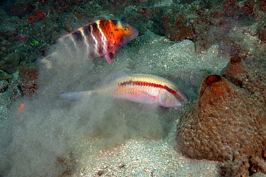 Dash and dot goatfish (Parupeneus barberinus) stirring up the sand in search of food, followed by a Wrasse (Labridae) waiting to pick up easy meal, Lembeh Strait, North Sulawesi, Indonesia.
