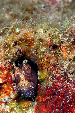 Starry blenny (Salarias ramosus) coming out of its burrow. Lembeh Strait, North Sulawesi, Indonesia.