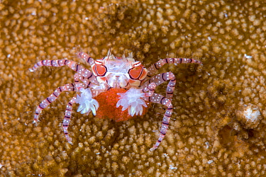 Mosaic boxer crab (Lybia tesselata) female carrying its red eggs Lembeh Strait, North Sulawesi, Indonesia