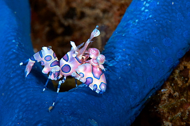 Harlequin shrimp (Hymenocera elegans) with its prey Blue Starfish (Linckia laevigata) Lembeh Strait, North Sulawesi, Indonesia.