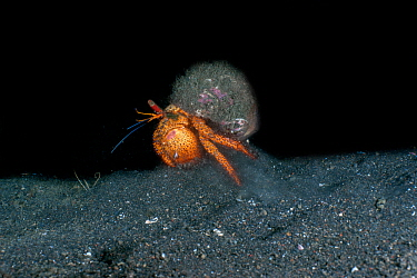 Spotted hermit crab (Dardanus megistos) running at night and stirring up sand. Lembeh Strait, North Sulawesi, Indonesia.