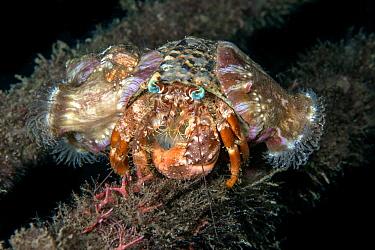 Anemone hermit crab (Dardanus pedunculatus) on mooring line carrying sea anemones. Lembeh Strait, North Sulawesi, Indonesia