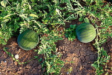 Watermelon (Citrullus lanatus)  Evia Island, Greece, July.